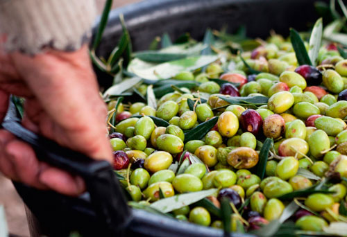 Flavor is the best part of Ficacci's olives, made possible thanks to the craft knowledge distinguishing its family for three generations