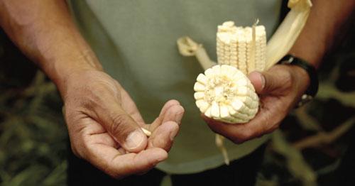 Manuel Berber inspecting corn