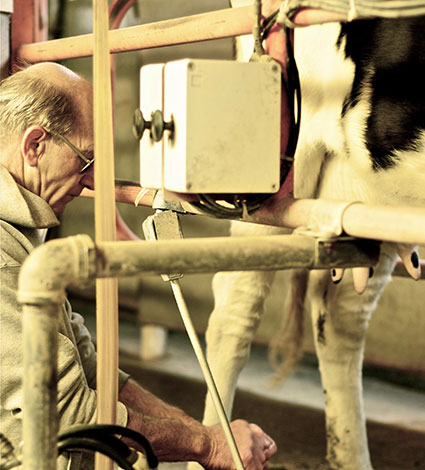 Paul Schmidt milking an Orland Farmstead cow