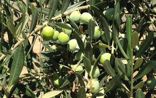 Rio Bravo Ranch Olives
