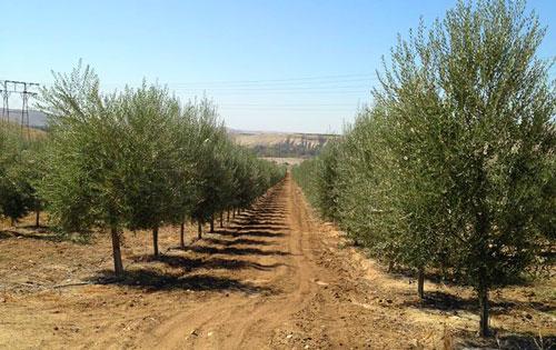 Rio Bravo Ranch Olive Trees