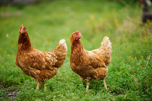 Yum! Brands recently released a global policy to transition to 100 percent cage-free eggs and egg products in the majority of its locations by 2026, and globally by 2030